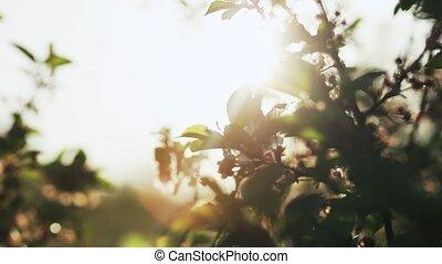 Flower of apple in the garden
