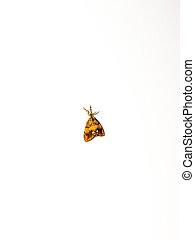 The moth (Triodia sylvina).