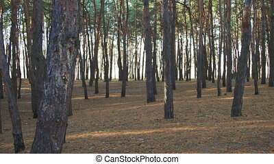 The Movement in the Forest Between Trees against the Sun....