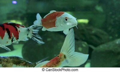 The movement of the goldfish in the freshwater aquarium. Close up
