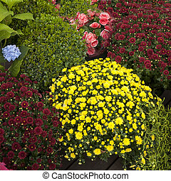 the Multicolored shrub chrysanthemums, begonias, artifacts and ornamental shrubs for sale