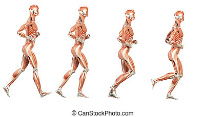 The muscles - Running cycle illustration - the muscles