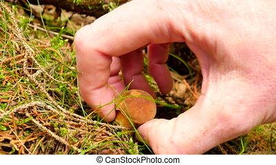 The mushroom hunting. Mushroom cut off by knife, mushroomer hands  cut, clean and pick small brown bolete. Closeup view.