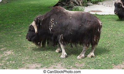 The muskox is having a rest on the green grass in the Moscow zoo, Russia.