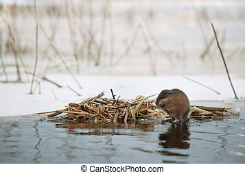 The muskrat (Ondatra zibethicus) eats at the house near...