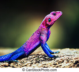 The Mwanza Flat-headed Agama. Serengeti, Tanzania - The...