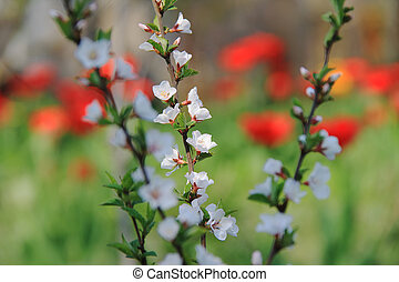 The Nanking cherry blossom.