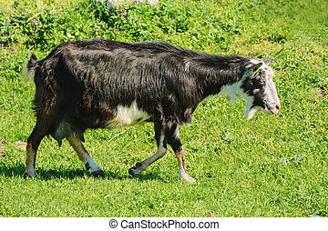 The Nanny Goat - A Nanny Goat in the Green Pasture