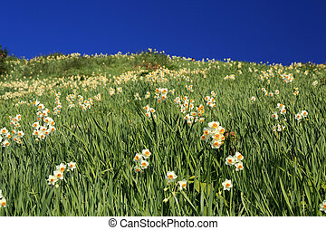 The Narcissus and blue sky