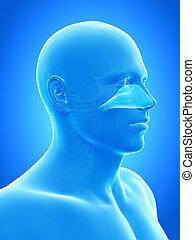 The nasal cavity - Anatomy illustration showing the nasal...