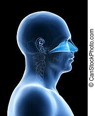 The nasal cavity