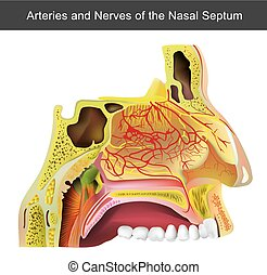 The nasal cavity (or nasal fossa) is a large air filled...