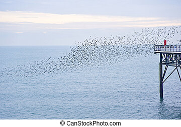 The natural phenomenon which occurs annually in UK of starlings migrating in very tight formation