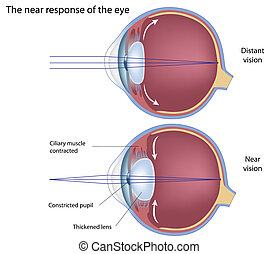 Eye's adaptation to near vision, eps8