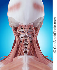 The neck muscles - medically accurate illustration of the...