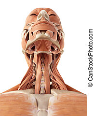 The neck muscles - medical accurate illustration of the neck...