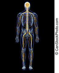 The nervous system - medically accurate illustration of the...