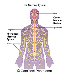 The Nervous System - vector medical illustration of the ...
