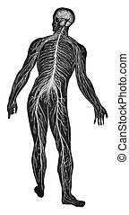 The nervous system, vintage engraving.