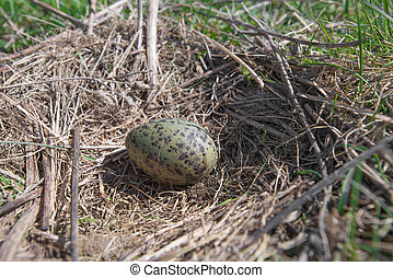 The nest of the Common Gull (Larus canus) in the wild.