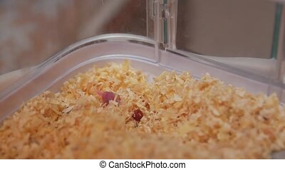 The newborn pet little Djungarian hamster in a cage sawdust