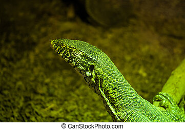 The Nile monitor