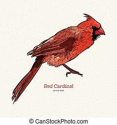The northern cardinal (Cardinalis cardinalis). Hand draw ...