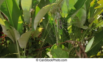 The Northern Golden Orb Weaver or Giant Golden Orb Weaver...