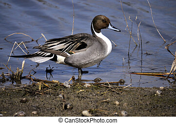 Pintail - The Northern Pintail Duck in the wild of south ...
