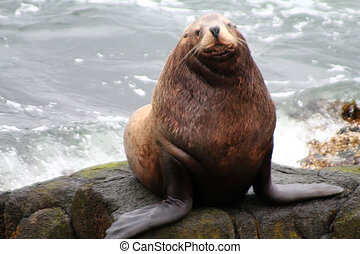 The Northern sea Lion (Steller sea lion).