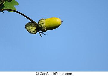 the oak acorn on blue sky