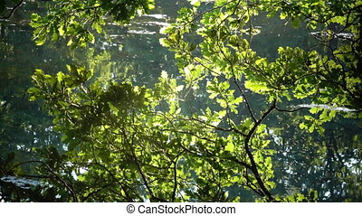 The oak branches lit with bright sunlight bent on water and...