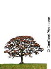 The Oak In Fall