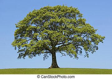 The Oak In Spring - Oak tree in leaf in a field in spring, ...