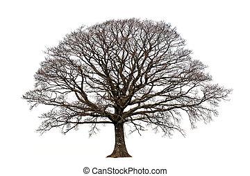 Oak tree in winter devoid of leaves set against a white background.