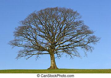 The Oak in Winter - Oak tree in a field in Winter, devoid of...