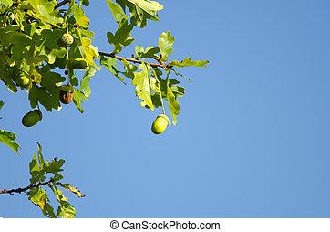 the oak leaves and acorns