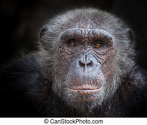 The old face of a chimpanzee.