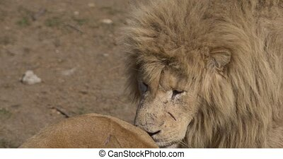 the old lion catches the smell of a lioness, Old Lion