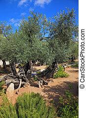 The old olive trees in Gethsemane - Location prayer of Jesus...