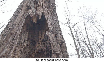 The Old Rotten Tree