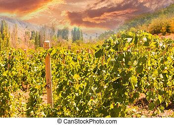 Old Vineyard Panorama Sunset