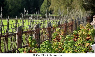 The old wooden lath fence of the ranch and the scarecrow