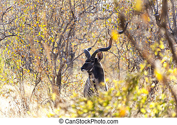 The One Horned Greater Kudu