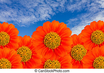 The orange flower with blue sky