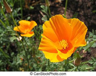 The orange poppies of California (Eschscholzia californica)