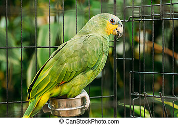 The Orange-winged Amazon Or Amazona Amazonica, Also Known Locally As Orange-winged Parrot And Loro Guaro, Is A Large Amazon Parrot. Wild Bird In Cage.