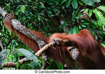 The orangutan from jungle. - Great ape. Orangutan. Pongo...
