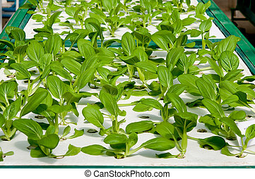 The Organic hydroponic of chinese cabbage in garden