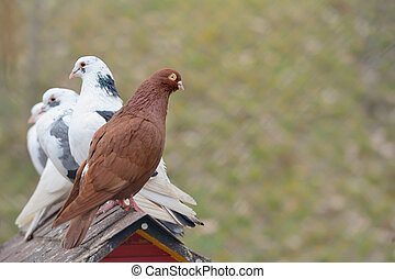The Oriental Roller pigeon and pigeons